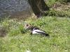 Śpiące kaczki